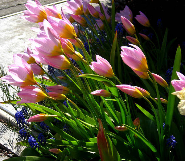 Flowers Poster featuring the photograph Spring Tenderness by Aliza Souleyeva-Alexander