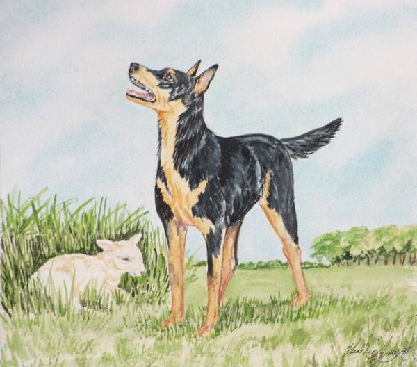 Kelpie Dog Print Poster featuring the painting Australian Kelpie by Heather Anderson