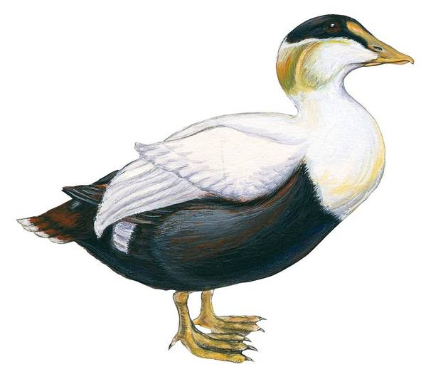 No People; Horizontal; Side View; Full Length; White Background; One Animal; Wildlife; Close Up; Zoology; Illustration And Painting; Bird; Beak; Feather; Web; Animal Pattern; Duck; Common Eider; Somateria Mollissima Poster featuring the drawing Common Eider by Anonymous