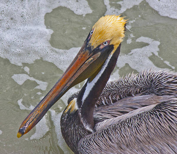 Pelican Poster featuring the photograph Eye To Eye by Betsy Knapp