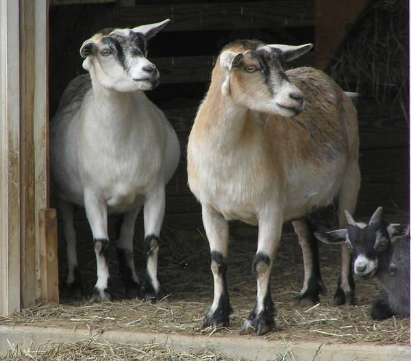 Goats Poster featuring the photograph Goat Trio by Jeanette Oberholtzer