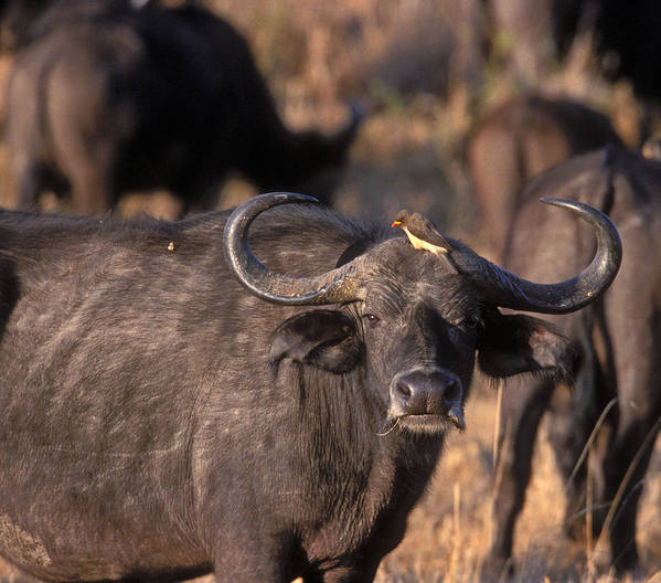 Cape Buffalo Poster featuring the photograph Hitching A Ride 1 by Sandra Bronstein
