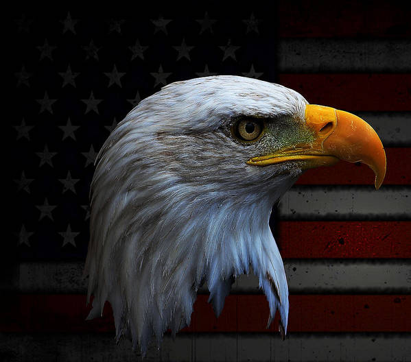 Bald Eagle Poster featuring the photograph Patriotic Bald Eagle by Kelly Straw