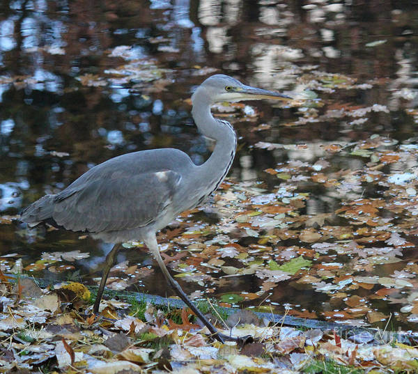 Herons Poster featuring the photograph Heron On The River by Four Hands Art