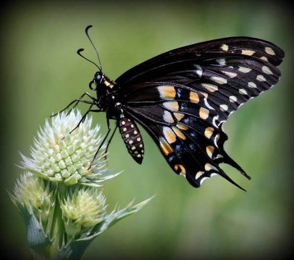 Morton Arboretum Poster featuring the photograph Black Swallowtail Vignette by Rosanne Jordan