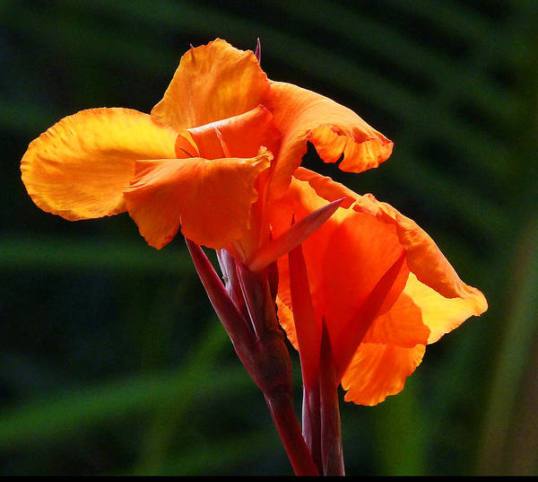 Canna Poster featuring the photograph Canna In Sunlight by Margaret Saheed