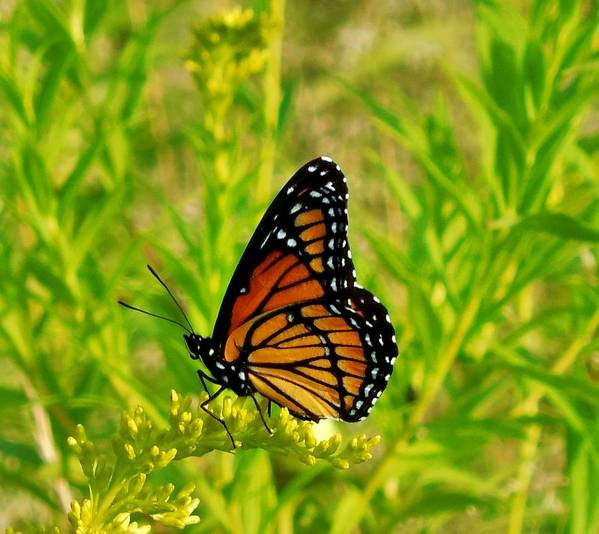Monarch Poster featuring the photograph Come Fly With Me by Anthony Thomas