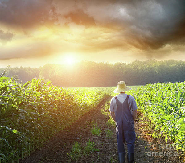 Alone Poster featuring the photograph Farmer Walking In Corn Fields At Sunset by Sandra Cunningham