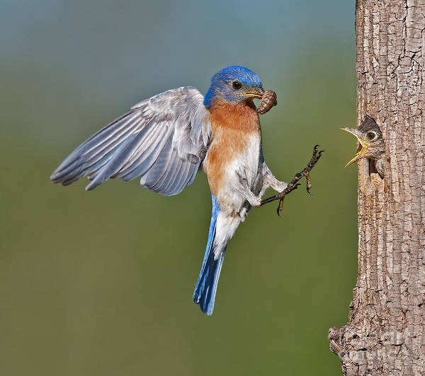 Eastern Bluebird Poster featuring the photograph Feed Me Daddy by Susan Candelario