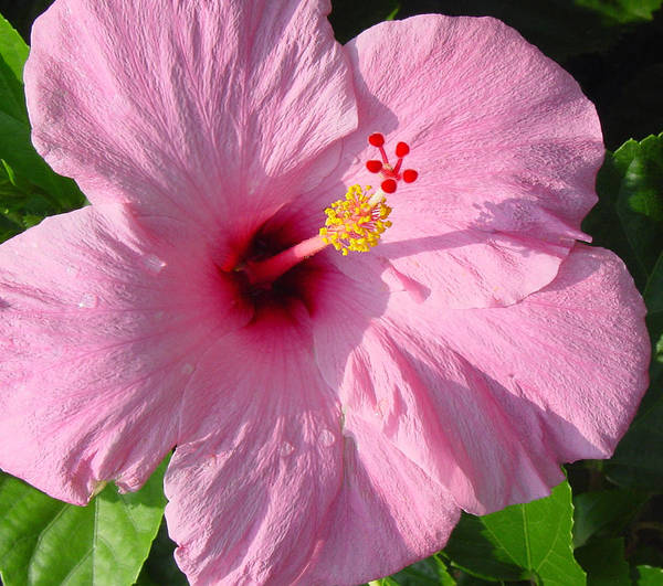 Pink Hibiscus Poster featuring the photograph Pink Hibiscus by Suzanne Gaff