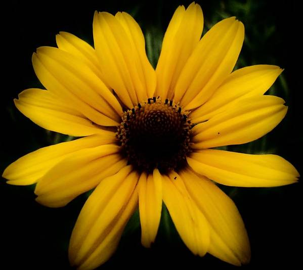 Prairie Coreopsis Poster featuring the photograph Prairie Coreopsis by Eric Noa