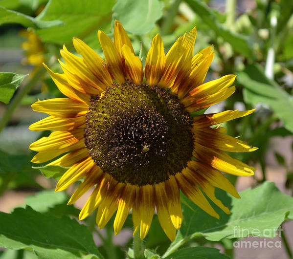 Sunflower Glory Poster featuring the photograph Sunflower Glory by Luther Fine Art