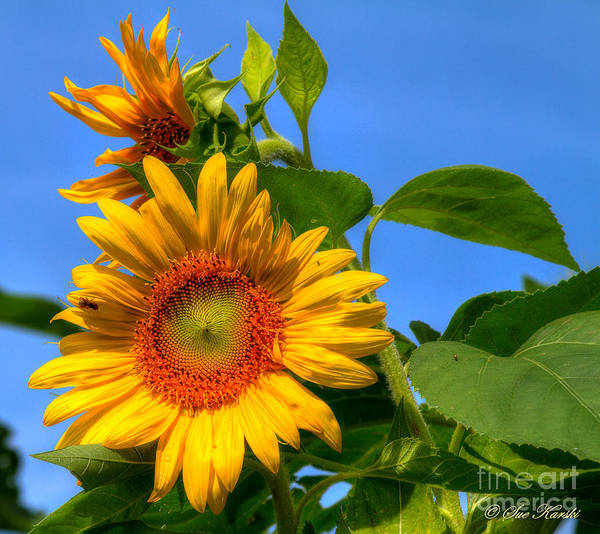Foliage Poster featuring the photograph Sunflower Pair by Sue Karski