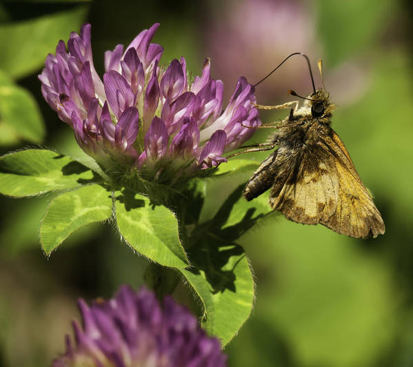 Salt And Pepper Grass Skipper Poster featuring the photograph Sweetness Of Summer by Thomas Young