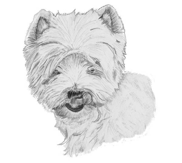 Westie Poster featuring the drawing West Highland Terrier Drawing by Catherine Roberts