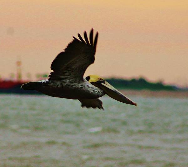 Pelican Poster featuring the photograph Brown Pelican by Jan Canavan