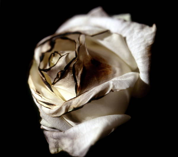 Tea Rose Poster featuring the photograph Burnt Tea Rose by Neal Grundy