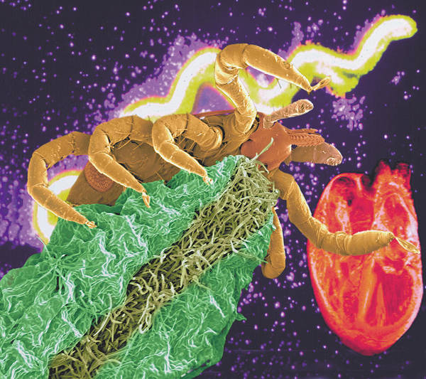 Tick Poster featuring the photograph Composite Image Of A Tick And A Borrelia Bacterium by Volker Steger
