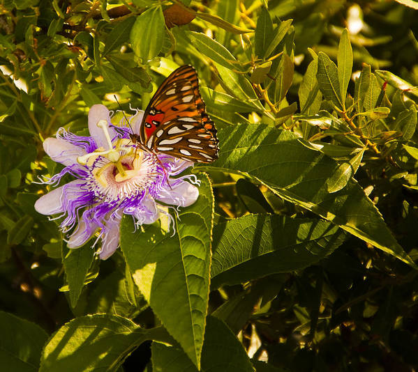 Orange Poster featuring the photograph Fritillary On A Passion Flower by Michael Ray