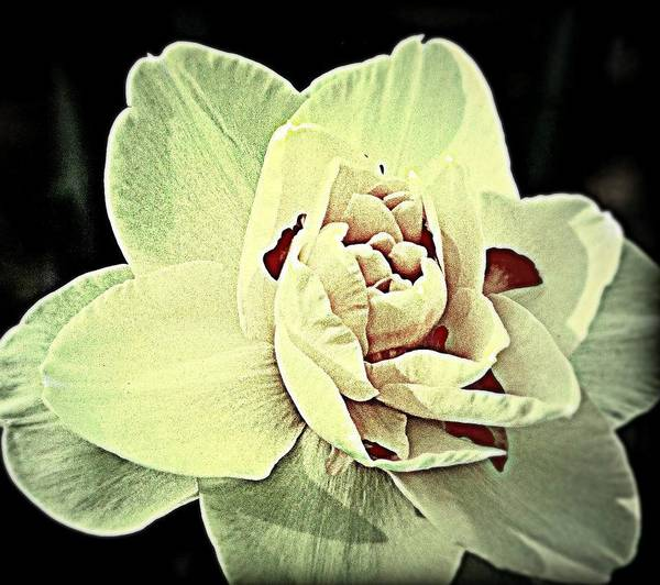 Flower Poster featuring the photograph Ivory by Vickie Beasley