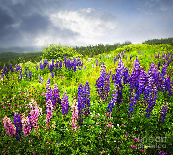 Flowers Poster featuring the photograph Lupin Flowers In Newfoundland by Elena Elisseeva