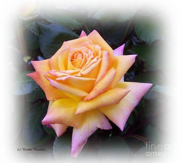 Photo Poster featuring the photograph Peace Rose by Norma Boeckler