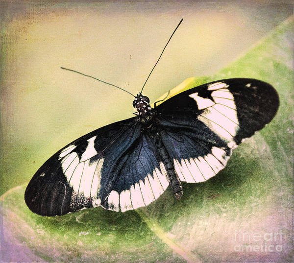 Insect Poster featuring the photograph Sapho Longwing Butterfly by Susan Grube