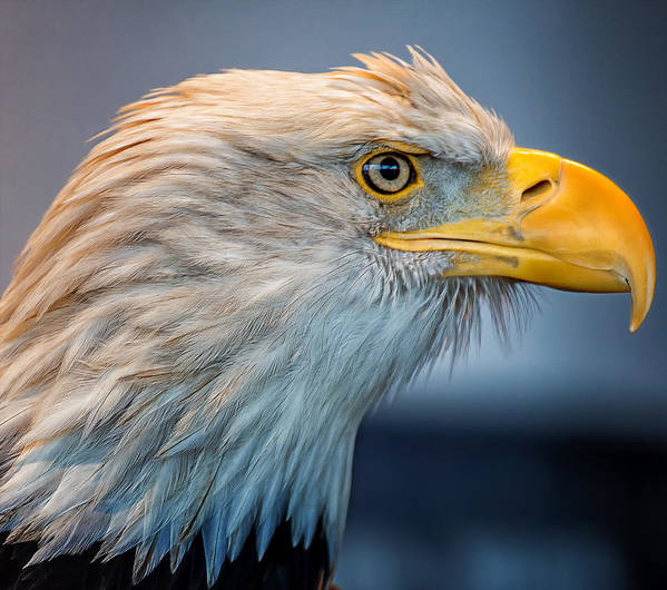 Eagle Poster featuring the photograph Eagle With An Attitude by Bill Tiepelman