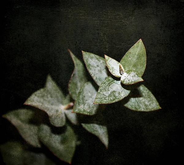 Eucalyptus Poster featuring the photograph Eucalyptus by Cathie Tyler