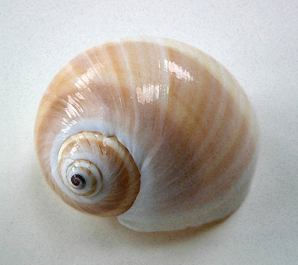 Shell Poster featuring the photograph Moonsnail by Mary Haber