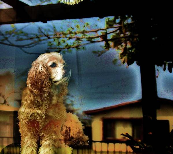 Cocker Spaniel Poster featuring the photograph On Guard by Helen Carson
