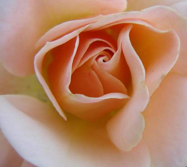 Rose Poster featuring the photograph Peach Mini Rose by Liz Vernand