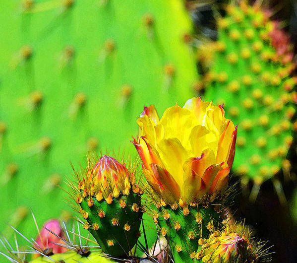 Cactus Poster featuring the photograph Prickly Pear by Robert Wallace