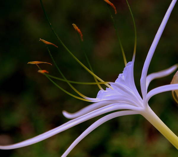 Flower Poster featuring the photograph Spider Lilly Blue by Susanne Van Hulst
