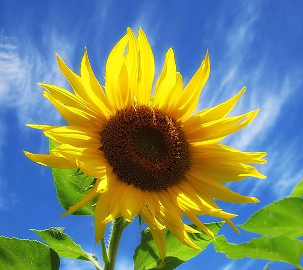Sunflower Poster featuring the photograph Sunflower Glow by MTBobbins Photography