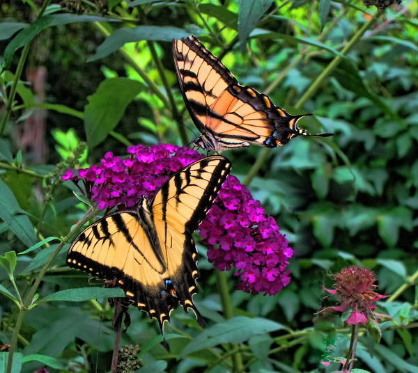 Butterflies Poster featuring the photograph Two Of A Kind by Carol A Commins