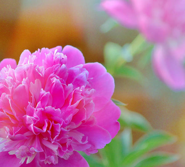 Art Poster featuring the photograph Peonies by Joan Han