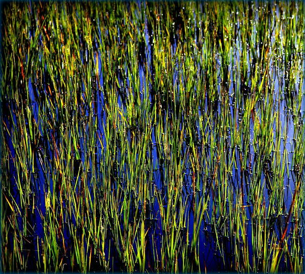 Marsh Poster featuring the photograph Water Reeds by Karen Wiles