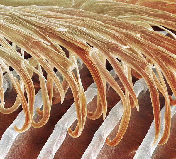 Hirundo Poster featuring the photograph Feather Barbules, Sem by Power And Syred