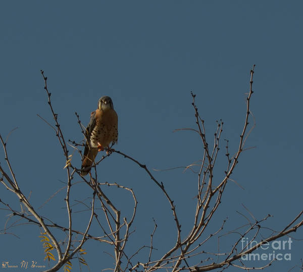 Bird Poster featuring the photograph Kestrel by Donna Brown