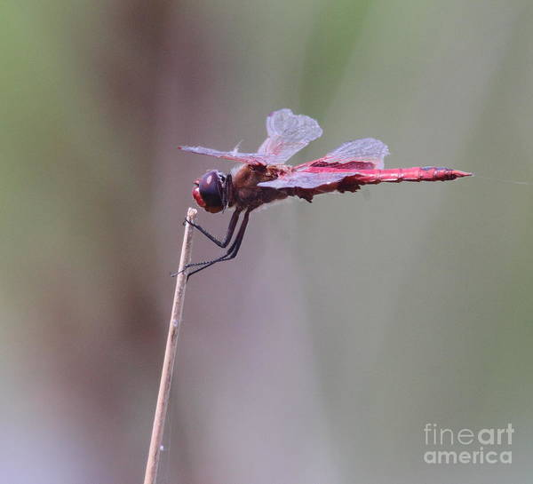 Dragonfly Poster featuring the photograph Open Mic Night At The Swamp by Robert Frederick
