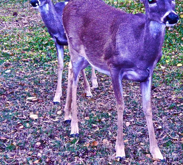 Two Deer Poster featuring the photograph Distrubing Deer by Chuck Taylor