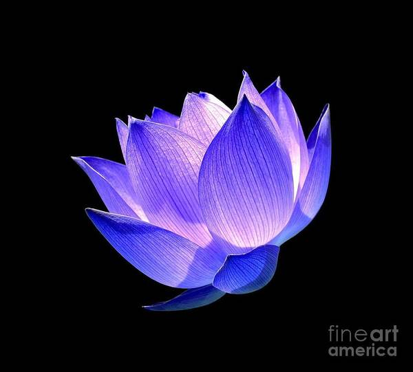 Flower Poster featuring the photograph Enlightened by Jacky Gerritsen