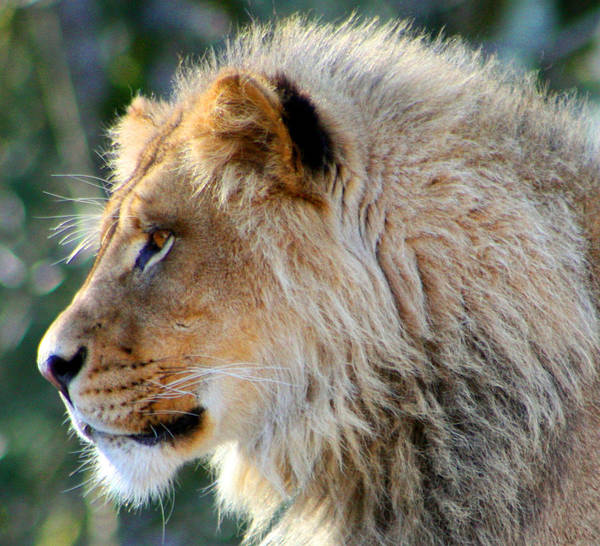 Lion Poster featuring the photograph Young King Close Up by Nick Gustafson