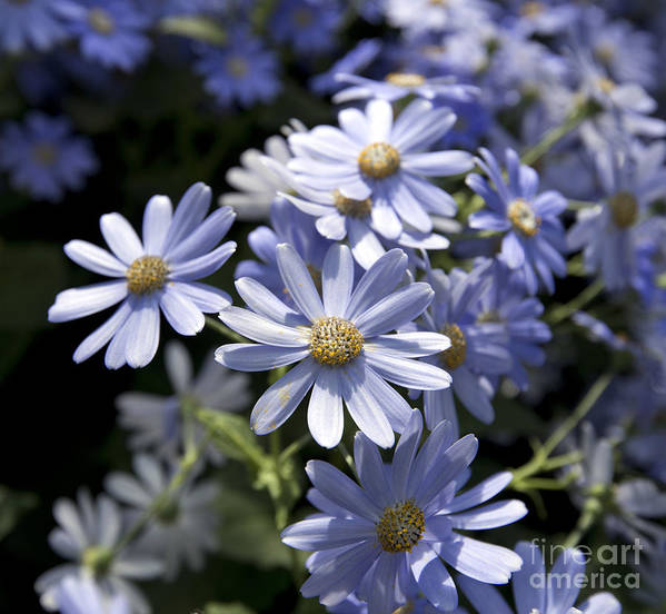 Blue Daisy Poster featuring the photograph Cineraria 1225 by Terri Winkler