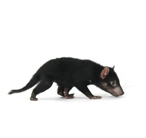 Biology Poster featuring the photograph Baby Tasmanian Devil by Science Photo Library