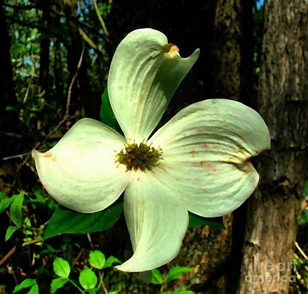 Dogwood Blossom Poster featuring the photograph Dogwood Blossom I by Julie Dant