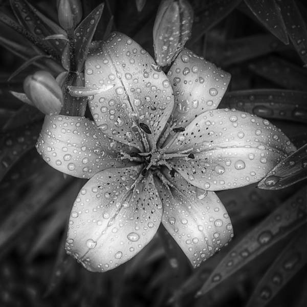 Tiger Lily Poster featuring the photograph After The Rain by Scott Norris