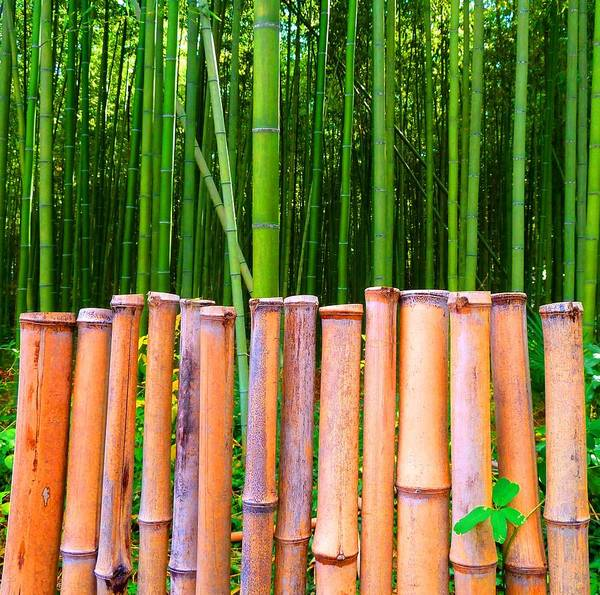 Julia Tanner Poster featuring the photograph Bamboo Fence by Julia Ivanovna Willhite