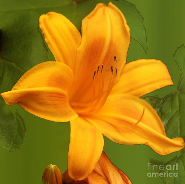 Flower Poster featuring the photograph Day Lily by Linda C Johnson